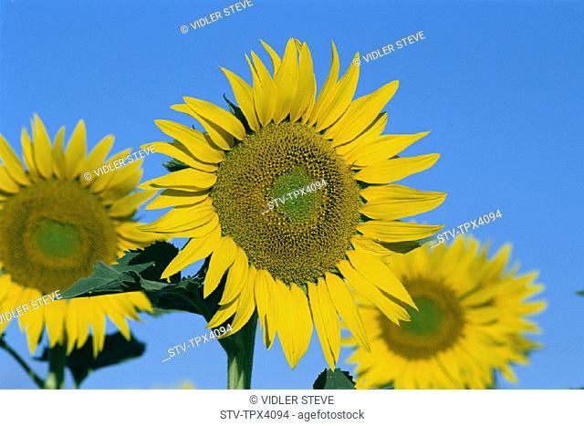 France, Europe, Holiday, Landmark, Provence, Sunflowers, Tourism, Travel, Vacation