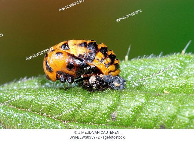 multicoloured Asian beetle Harmonia axyridis, pupa