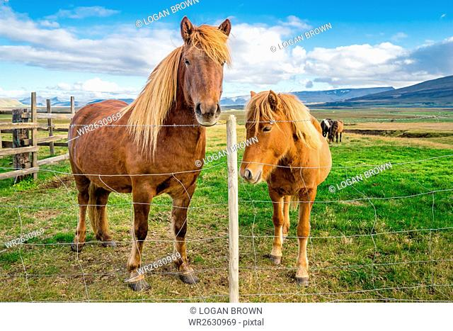 An adult and juvenile Icelandic horse in a field in rural Iceland, Polar Regions