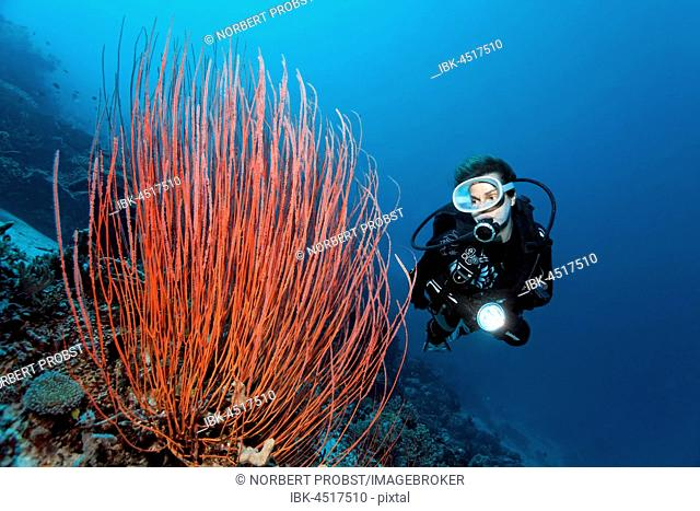 Diver looking at Red whip coral (Ellisella ceratophyta) at escarpment, Raja Ampat, Papua Barat, West Papua, Pacific, Indonesia