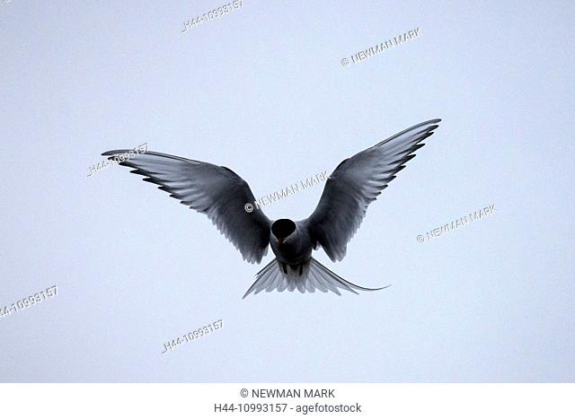 arctic tern, tern, Sterna paradisaea, bird, flying, Alaska, USA