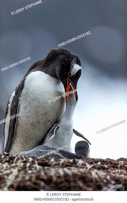 South Atlantic Ocean, South Georgia Island, gentoo penguin (Pygoscelis papua), young, nest