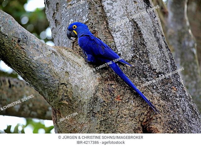 Hyacinth macaw (Anodorhynchus hyacinthinus), adult in a tree, Pantanal, Mato Grosso, Brazil