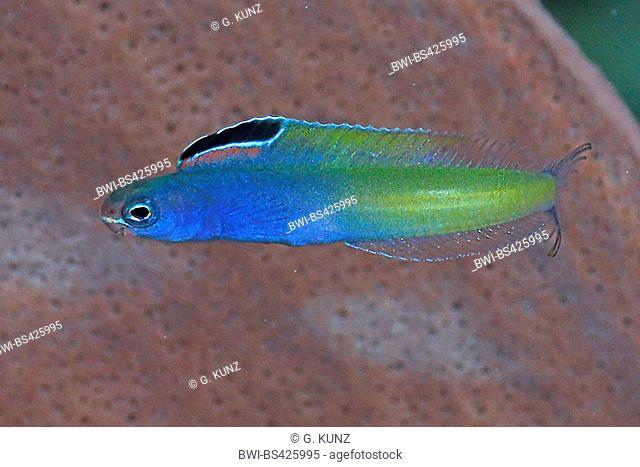Blackline fangblenny (Meiacanthus nigrolineatus), swimming, Egypt, Red Sea