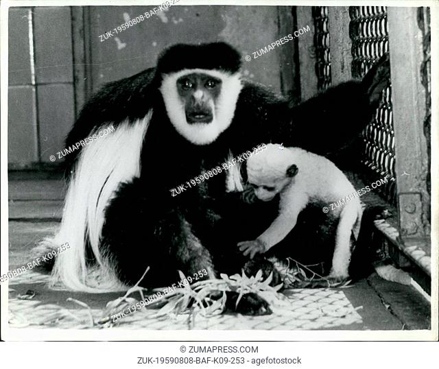 Aug. 08, 1959 - A Very Rare Sight - Baby Born To Large African Guereza Monkey In Frankfurt Zoo: The Guereza monkey, a large African monkey
