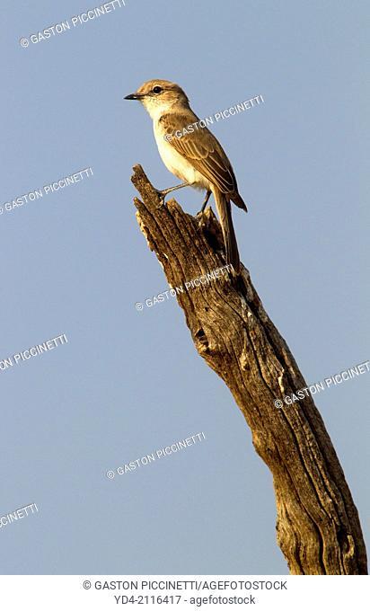 Familiar Chat (Cercomela familiaris), Mabuasehube, Kgakagadi Transfrontier Park, Kalahari desert, Botswana
