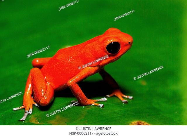 Solarte morph Strawberry Poison Frog (Oophaga pumilio) resting on a leaf, Panama