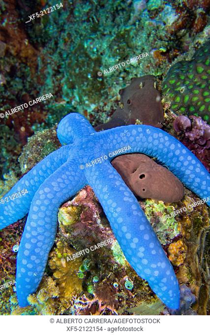 Blue Sea Star, Unckia laaevigata, Starfish, Lembeh, North Sulawesi, Indonesia, Asia