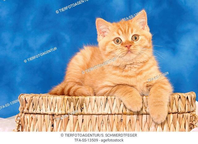 lying British Shorthair kitten