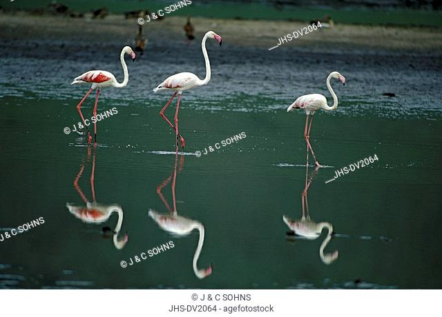 European Greater Flamingo,Phoenicopterus ruber roseus,Ngorongoro Crater,Tanzania,Africa,group of adults with reflections