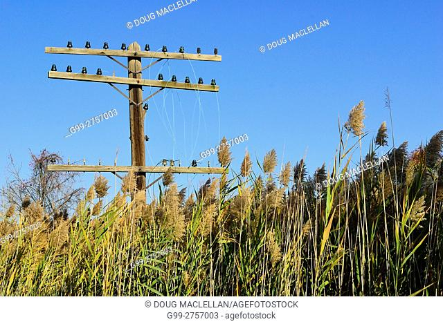 Phragmites are an invasive plant species over taking the natural flora in southern Ontario. They are tall but not taking over this abandoned telephone and hydro...