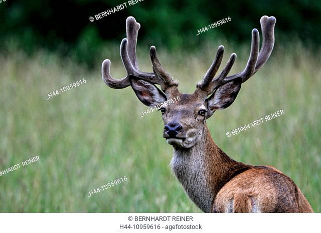 Red deer, antlers, antler, Cervid, Cervus elaphus, deer, stag, stags, hoofed animals, summer, velvet, animal, animals, Germany, Europe