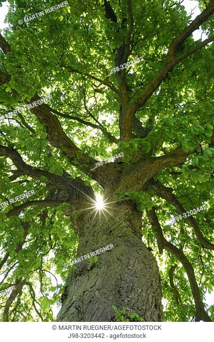 Chestnut Tree (Horse Chestnut Tree / Aesculus hippocastanum) close up with sun at backlight, lensflare. Mecklenburg-Western Pomerania, Germany, Europe