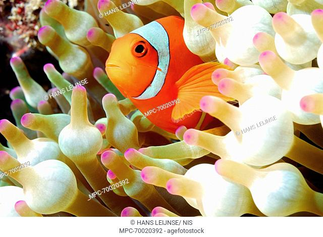 Clown Anemonefish (Amphiprion ocellaris) amid tentacles of Bulb Tentacle Sea Anemone (Entacmaea quadricolor), Indonesia