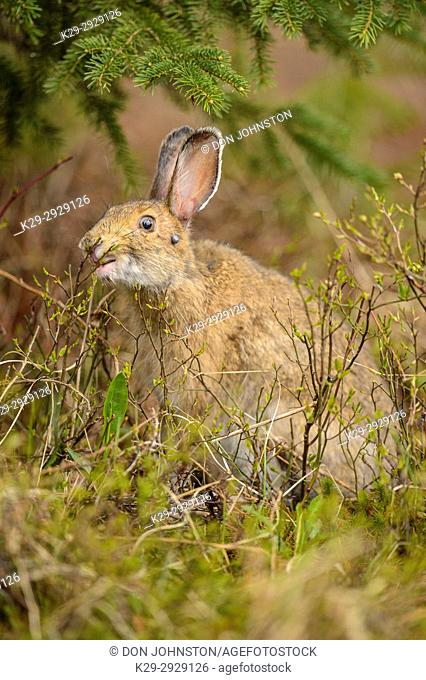 Varying hare, Snowshoe hare (Lepus americanus) In spring with tick infestation, eating buds and twigs, Greater Sudbury, Ontario, Canada