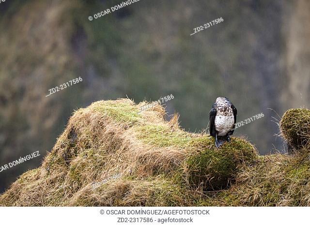 Great Cormorant (Phalacrocorax carbo) resting in rain near Skogafoss. Iceland