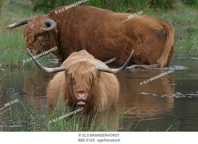 Highland cow and bull taking a cool bath