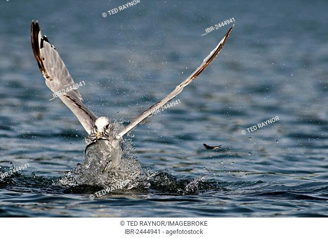 A Black-legged Kittiwake (Rissa tridactyla) feeds on herring