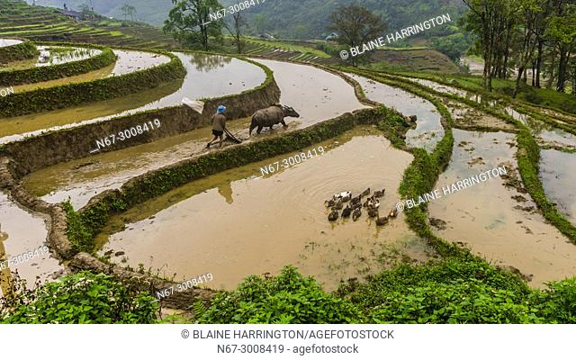 Farmer and water buffalo working in the rice terraces of the Muong Hoa Valley near Sapa. northern Vietnam