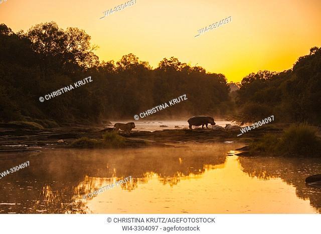 Lion (Panthera leo) and Hippopotamus (Hippopotamus amphibus) standing on the edge of the Olare Orok River, Maasai Mara National Reserve, Kenya, Africa