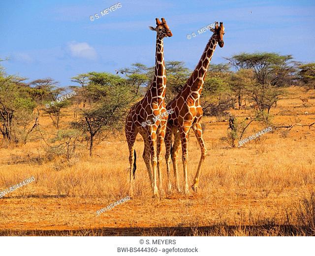 reticulated giraffe (Giraffa camelopardalis reticulata), two males in savanna, Kenya, Samburu National Reserve