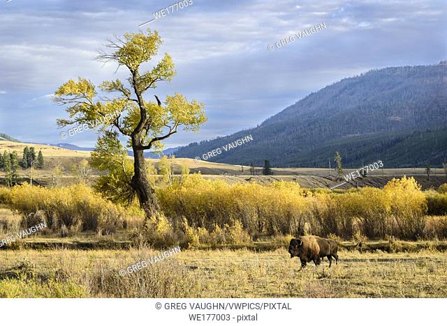 Bison and cottonwood tree in Lamar Valley, Yellowstone National Park