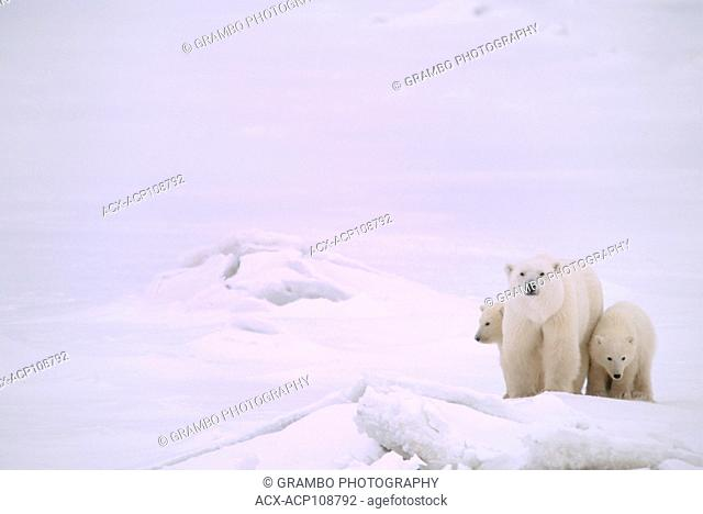 Polar bear mother and cubs, Ursus maritimus, on near shore ice, near Churchill, Manitoba, Canada
