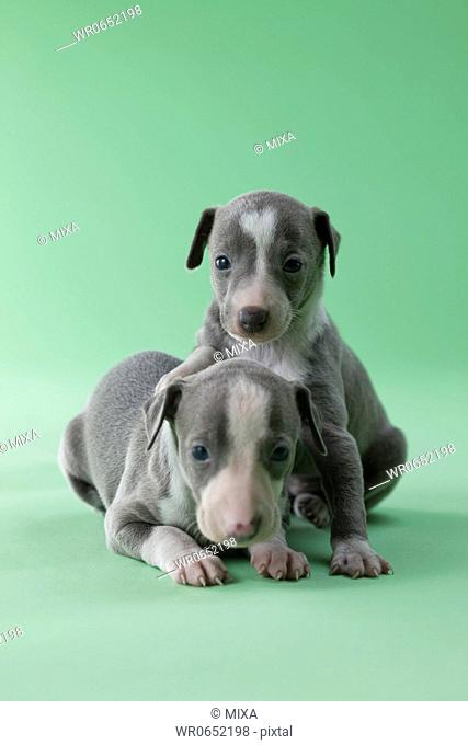 Two Italian Greyhound Puppies