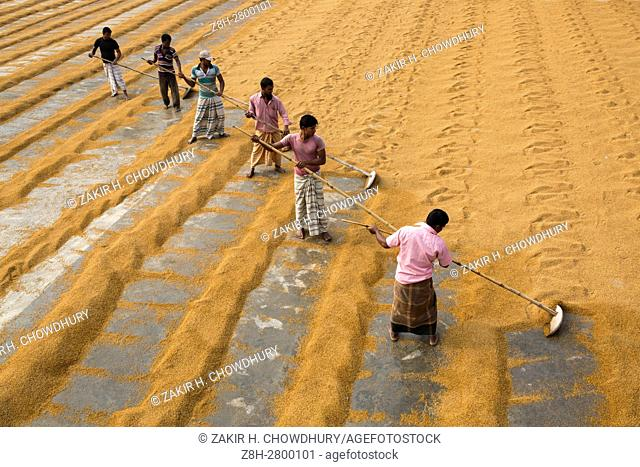 MANIKGONJ, BANGLADESH - JANUARY 07 : Worker processing and drying boiled rice at yard of a rice-mill in Manikgonj, Bangladesh on January 07, 2016