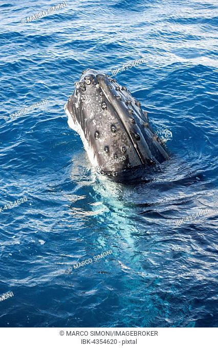 Humpback whale (Megaptera novaeangliae) adult surfacing, Hervey Bay, Queensland, Australia