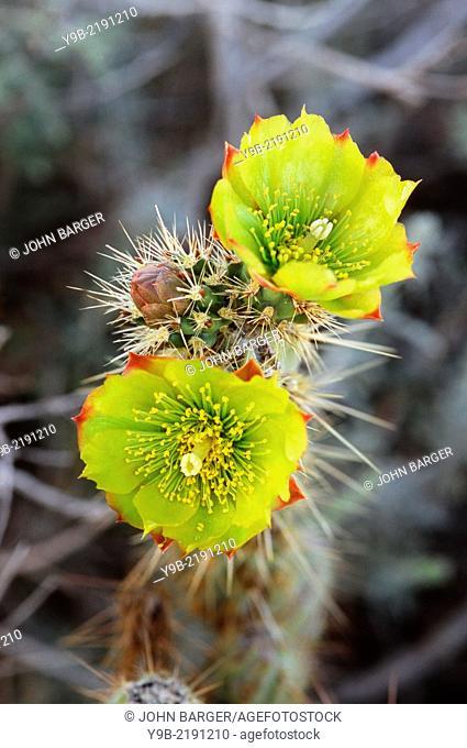 TEDDY-BEAR CHOLLA, Opuntia bigelovii, in bloom, Anza-Borrego Desert State Park, California, USA