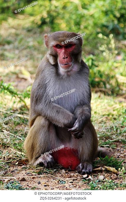 Male Monkey, Macaca mulatta-sp, Hyderabad, Telangana, India