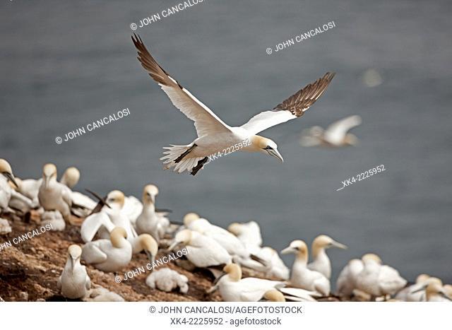Northern gannet , in flight, Canada