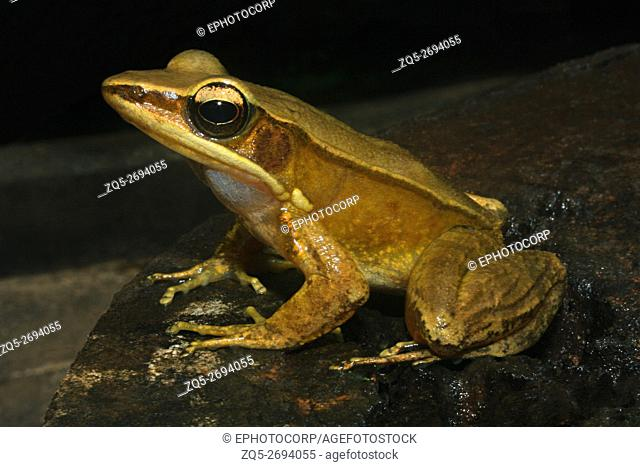 Name: Golden Frog (Hylarana sp. ) Location: Coorg, Karnataka
