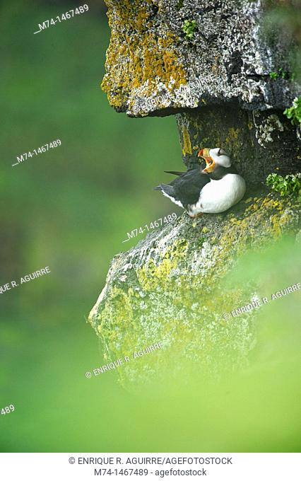 Horned Puffin (Fratercula corniculata)