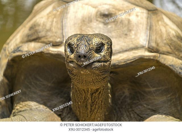 giant Aldabra tortoise, La Vanille Nature Park, Riviere des Anguilles, Mauritius, Africa