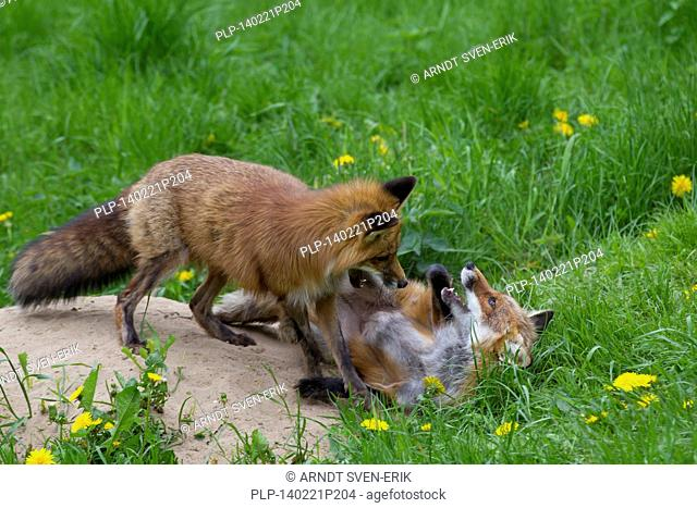 Two red foxes (Vulpes vulpes) playfighting near den in meadow