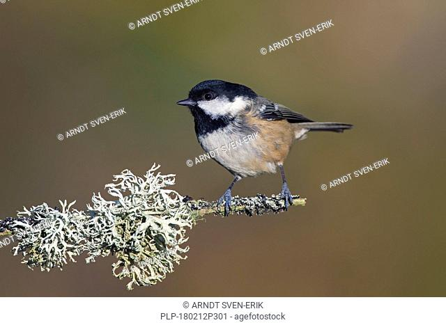 Coal tit (Periparus ater / Parus ater) perched in tree on lichen covered branch