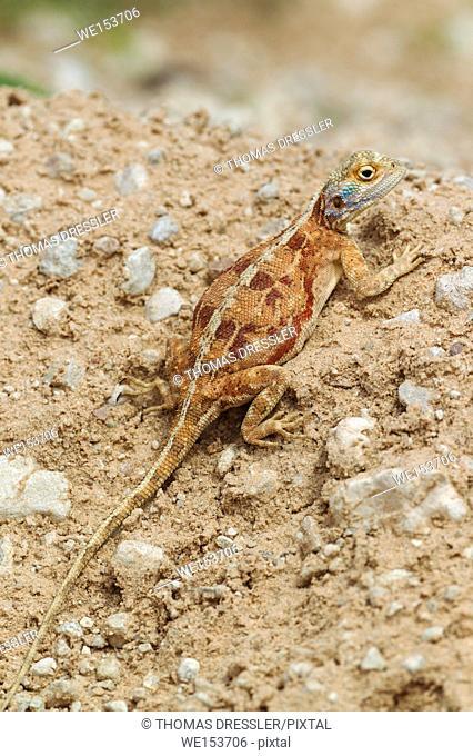 Ground Agama (Agama aculeata). Pregnant female. Kalahari Desert, Kgalagadi Transfrontier Park, South Africa