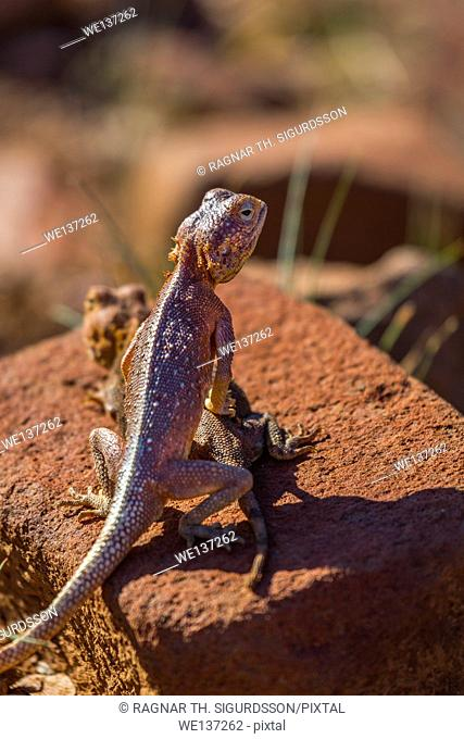 The common agama, red-headed rock agama, or rainbow agama, a species of lizard from the Agamidae family, Namibia, Africa