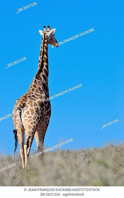 Giraffe (Giraffa camelopardalis), adult, looking around, Kgalagadi Transfrontier Park, Northern Cape, South Africa, Africa