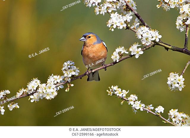 Chaffinch Fringilla coelebs male on Blossom