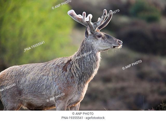 Red Deer Cervus elaphus - Kootwijkerzand, Veluwe, Gelderland, Guelders, The Netherlands, Holland, Europe