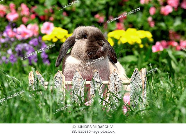 Dwarf Rabbit, Mini Lop. Adult sitting behind a small wooden fence in a garden. Germany