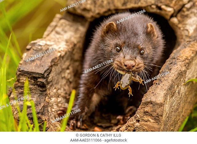 Mink (Mustela vison) with frog, Pine County, MN captive