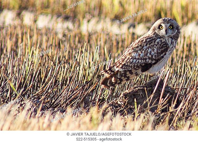Short-eared Owl (Asio flammeus). Valencia, Spain/ Rapaz nocturna de habitos migratorios posada en el suelo
