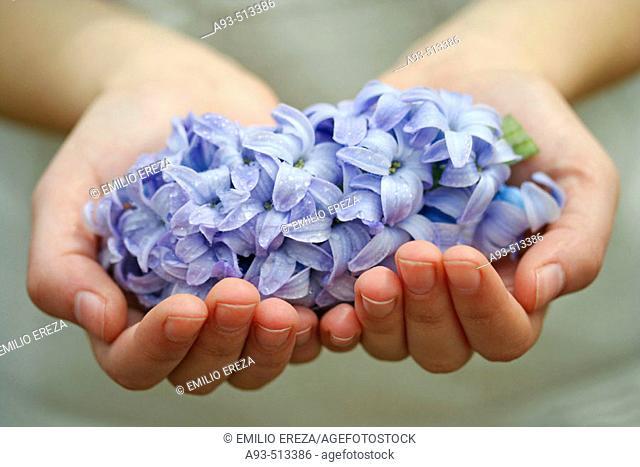 Hyacinth (Hyacinthus hybr.)