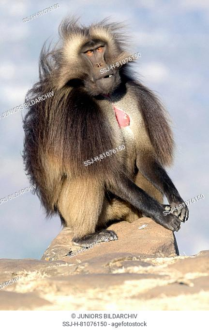 Gelada Baboon (Theropithecus gelada). Dominant male sitting on a rock. Ethiopia