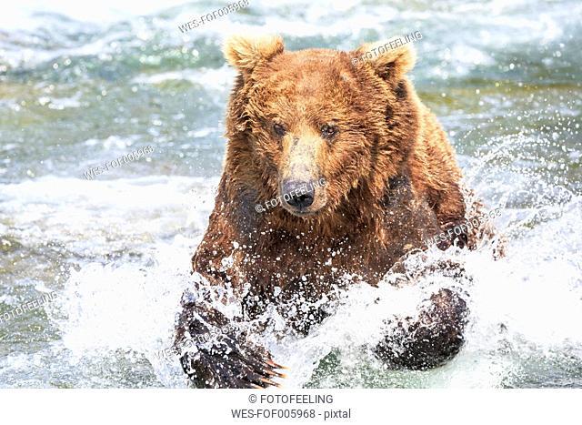 USA, Alaska, Katmai National Park, Brown bear (Ursus arctos) at Brooks Falls, foraging