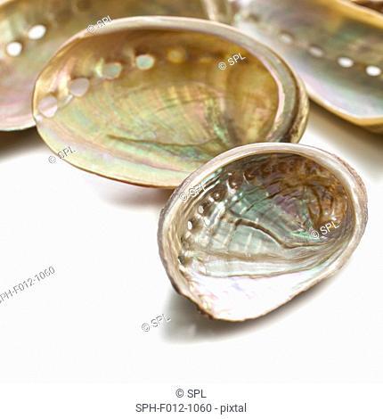 White coloured abalone shells
